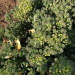 畑のブロッコリー