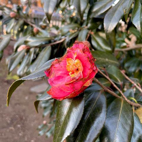 鳥に食べられた椿の花